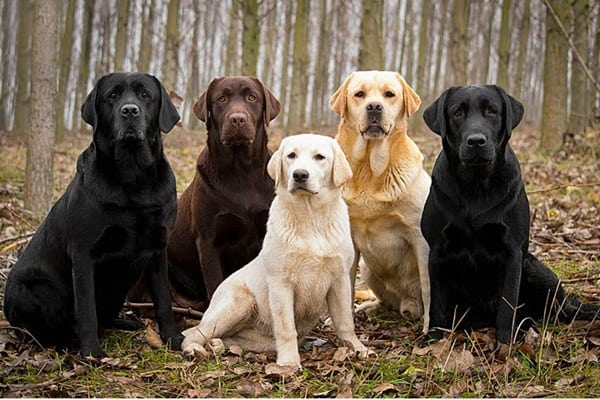 Best Things about Owing a Labrador Retriever 2