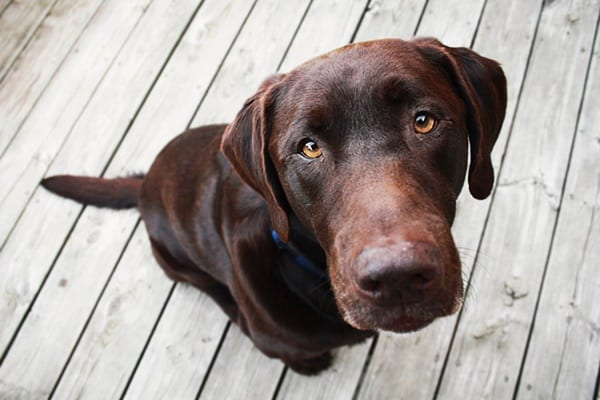 Best Things about Owing a Labrador Retriever 6