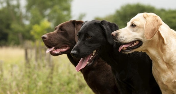 Best Things about Owing a Labrador Retriever 7