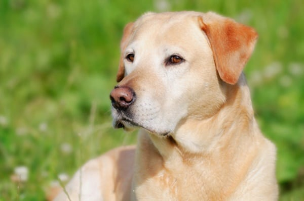 Best Things about Owing a Labrador Retriever 8