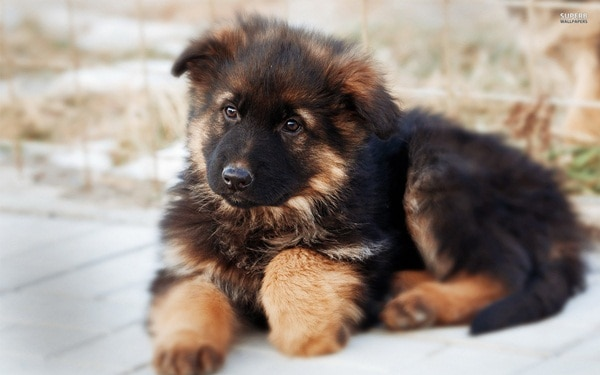 German Shepherd Dogs Interesting Facts and Information 12