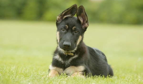German Shepherd Dogs Interesting Facts and Information 7