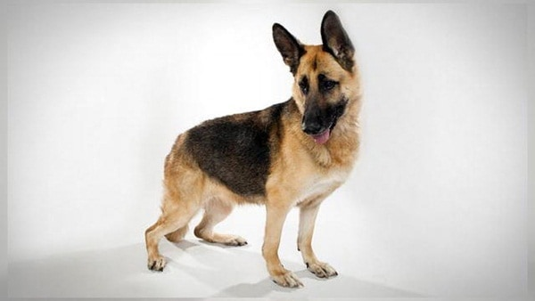 German Shepherd Dogs Interesting Facts and Information 9