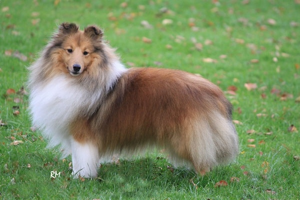 Important Tips to Groom a Shetland Sheepdog 1