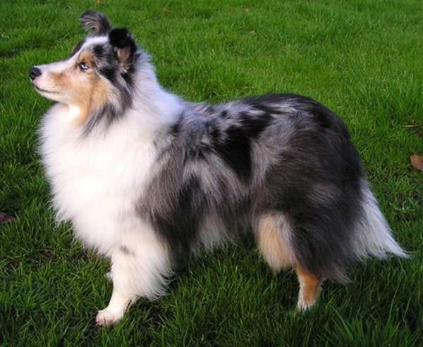 Important Tips to Groom a Shetland Sheepdog 2