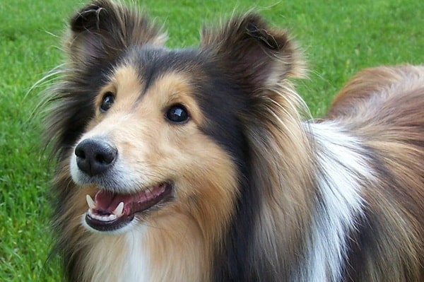 Important Tips to Groom a Shetland Sheepdog 3