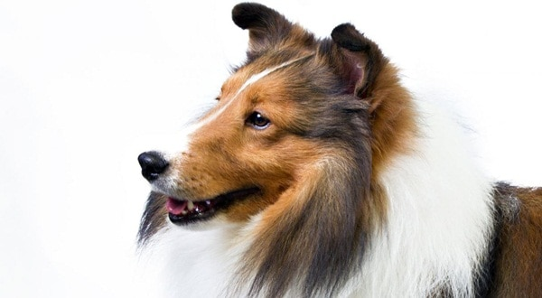 Important Tips to Groom a Shetland Sheepdog 4