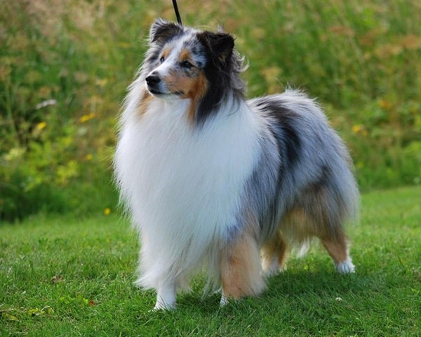 Important Tips to Groom a Shetland Sheepdog 5