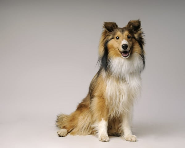 Important Tips to Groom a Shetland Sheepdog 6