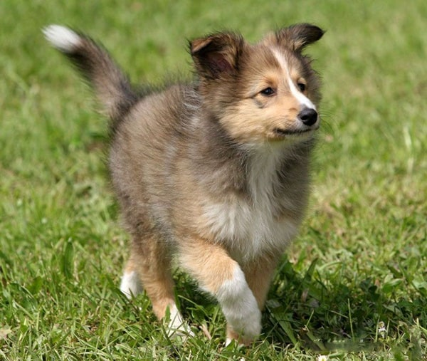 Important Tips to Groom a Shetland Sheepdog 7