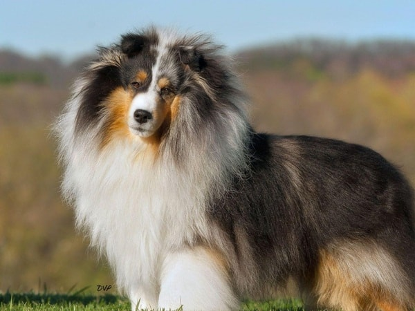 Important Tips to Groom a Shetland Sheepdog 8