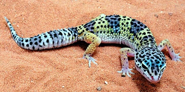 Leopard Gecko Diet and Care Information 2
