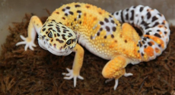 Leopard Gecko Diet and Care Information 4