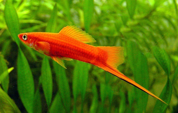 15 Exotic Freshwater Tropical Fish Information 10