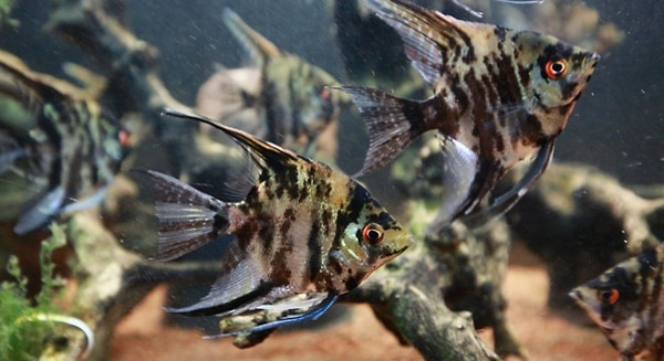 15 Exotic Freshwater Tropical Fish Information 12