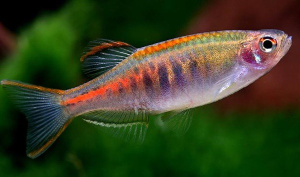 15 Exotic Freshwater Tropical Fish Information 2