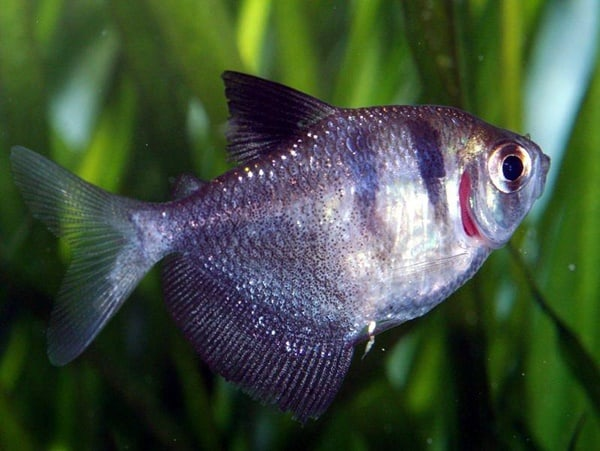 15 Exotic Freshwater Tropical Fish Information 3