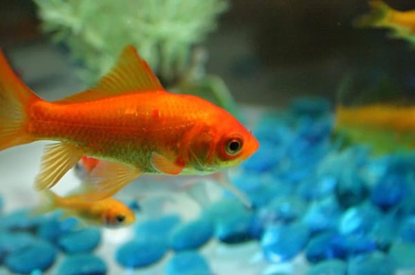 15 Exotic Freshwater Tropical Fish Species Information ...