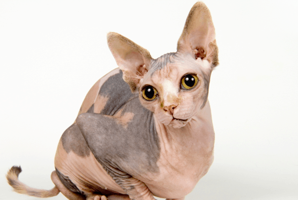 40 Amazing Hairless Sphynx Cat Pictures 1