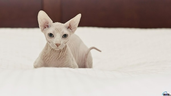 40 Amazing Hairless Sphynx Cat Pictures 10