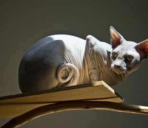 40 Amazing Hairless Sphynx Cat Pictures 14