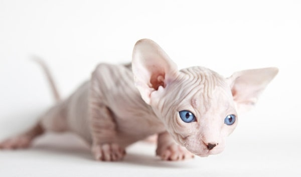 40 Amazing Hairless Sphynx Cat Pictures 15