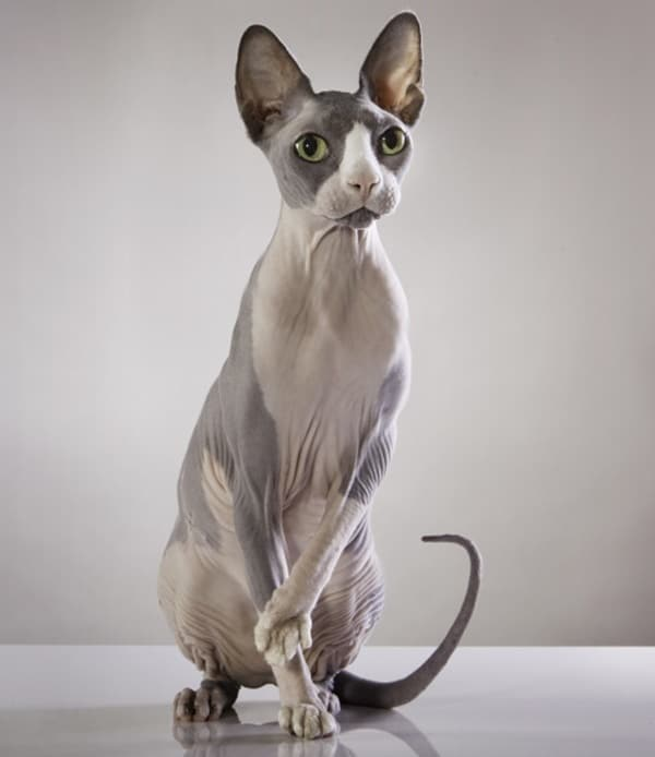 40 Amazing Hairless Sphynx Cat Pictures 16