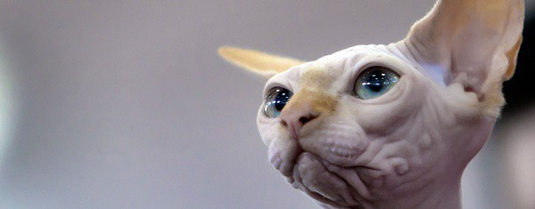 40 Amazing Hairless Sphynx Cat Pictures 18