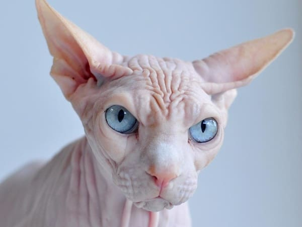 40 Amazing Hairless Sphynx Cat Pictures 19