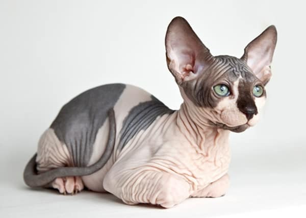 40 Amazing Hairless Sphynx Cat Pictures 2