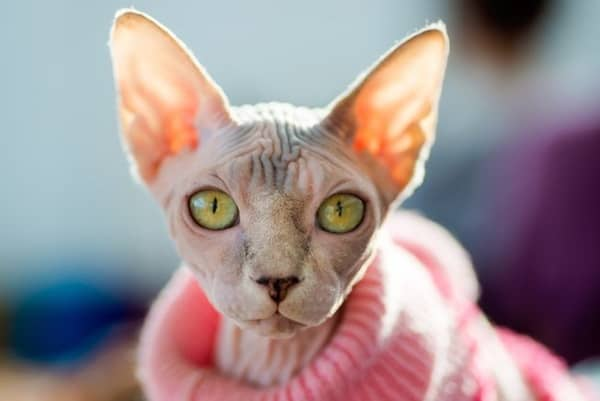 40 Amazing Hairless Sphynx Cat Pictures 21