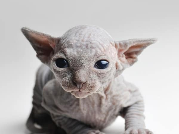 40 Amazing Hairless Sphynx Cat Pictures 22