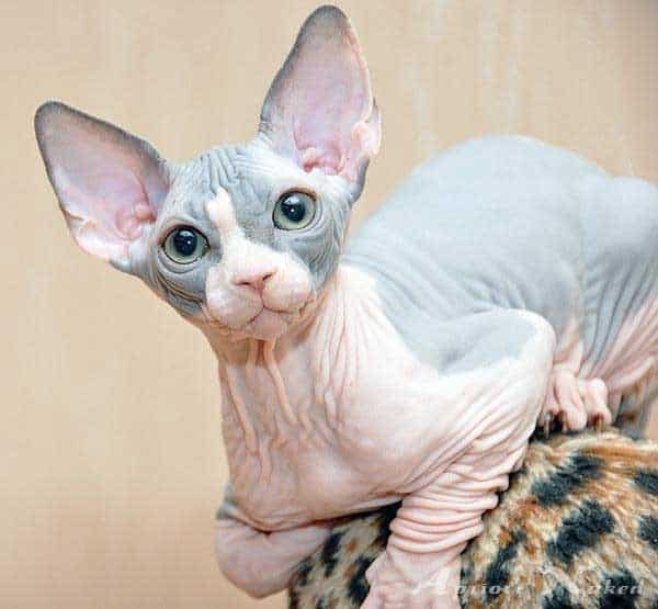 40 Amazing Hairless Sphynx Cat Pictures 23