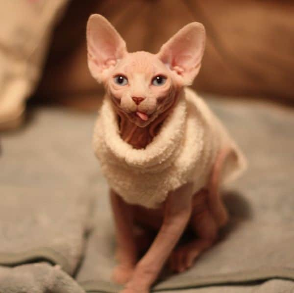 40 Amazing Hairless Sphynx Cat Pictures 24