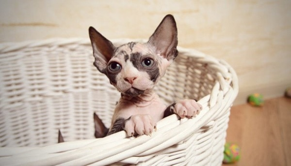 40 Amazing Hairless Sphynx Cat Pictures 26