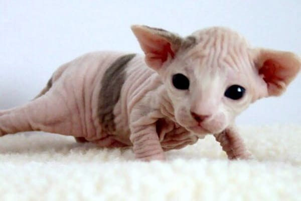 40 Amazing Hairless Sphynx Cat Pictures 3