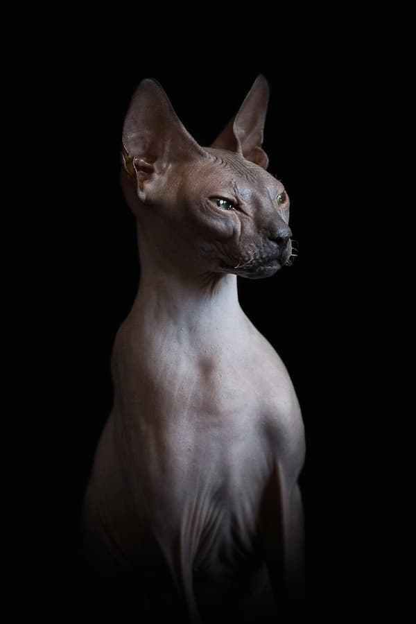 40 Amazing Hairless Sphynx Cat Pictures 31