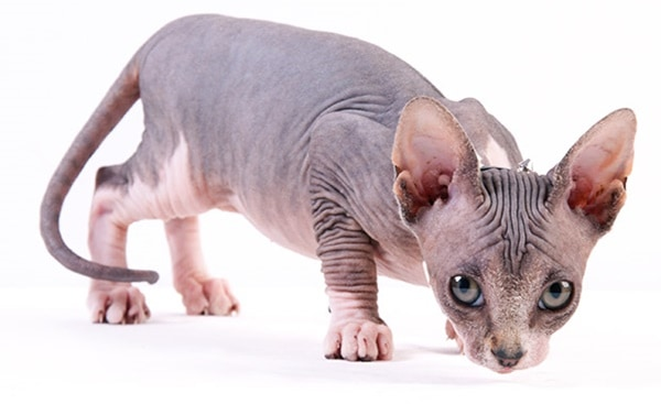 40 Amazing Hairless Sphynx Cat Pictures 32