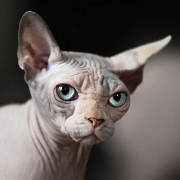 40 Amazing Hairless Sphynx Cat Pictures 33