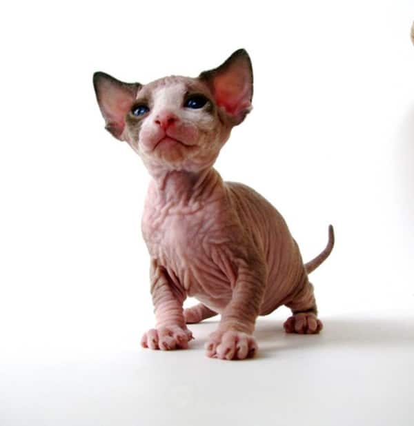 40 Amazing Hairless Sphynx Cat Pictures 34
