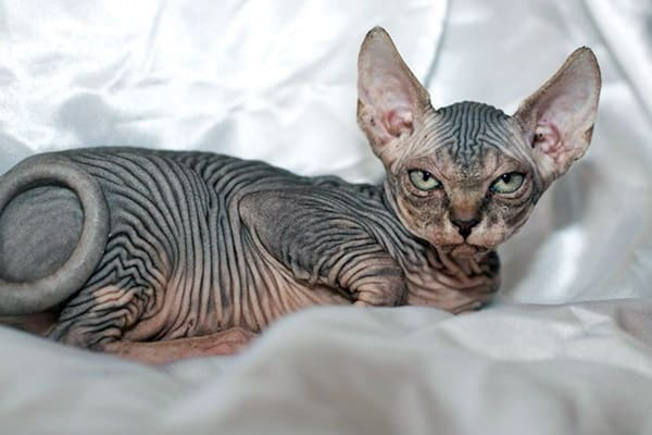 40 Amazing Hairless Sphynx Cat Pictures 35