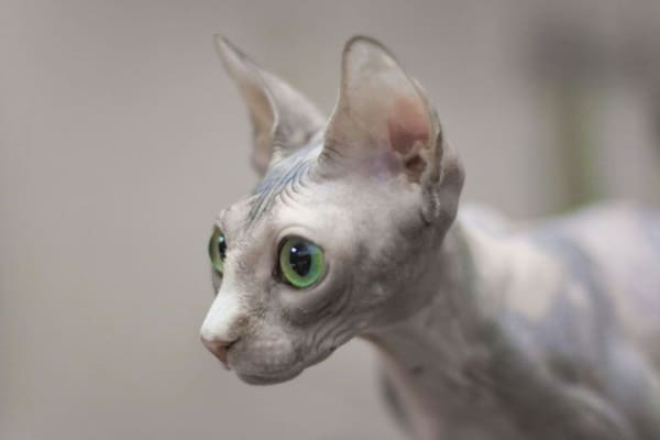 40 Amazing Hairless Sphynx Cat Pictures 37