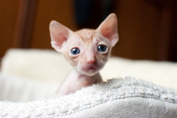 40 Amazing Hairless Sphynx Cat Pictures 38