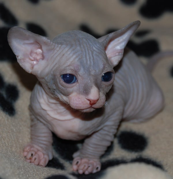 40 Amazing Hairless Sphynx Cat Pictures 39