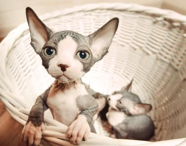 40 Amazing Hairless Sphynx Cat Pictures 4