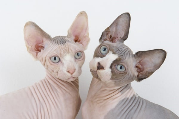 40 Amazing Hairless Sphynx Cat Pictures