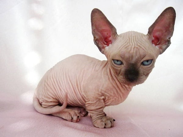 40 Amazing Hairless Sphynx Cat Pictures 7