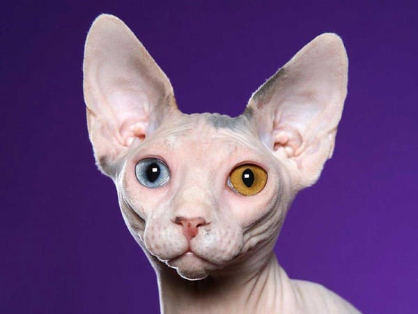 40 Amazing Hairless Sphynx Cat Pictures 8