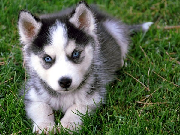40 Cute Siberian Husky Puppy Pictures 1
