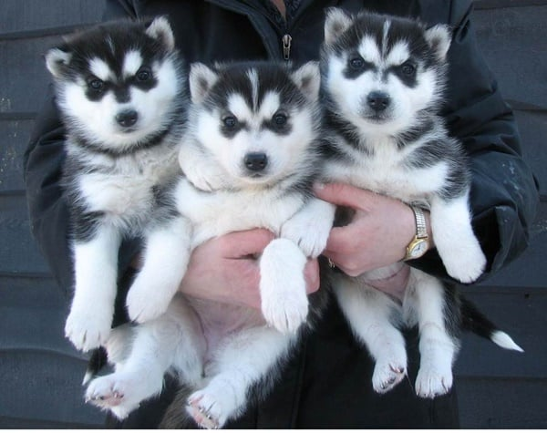 40 Cute Siberian Husky Puppy Pictures 15